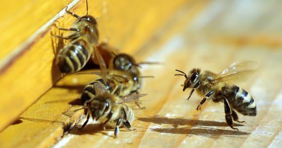 Le dolía el ojo, ¡tenía cuatro abejas vivas en el interior!